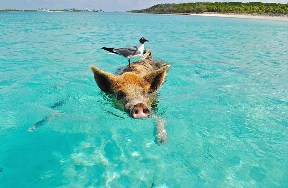 The Bahamas pig